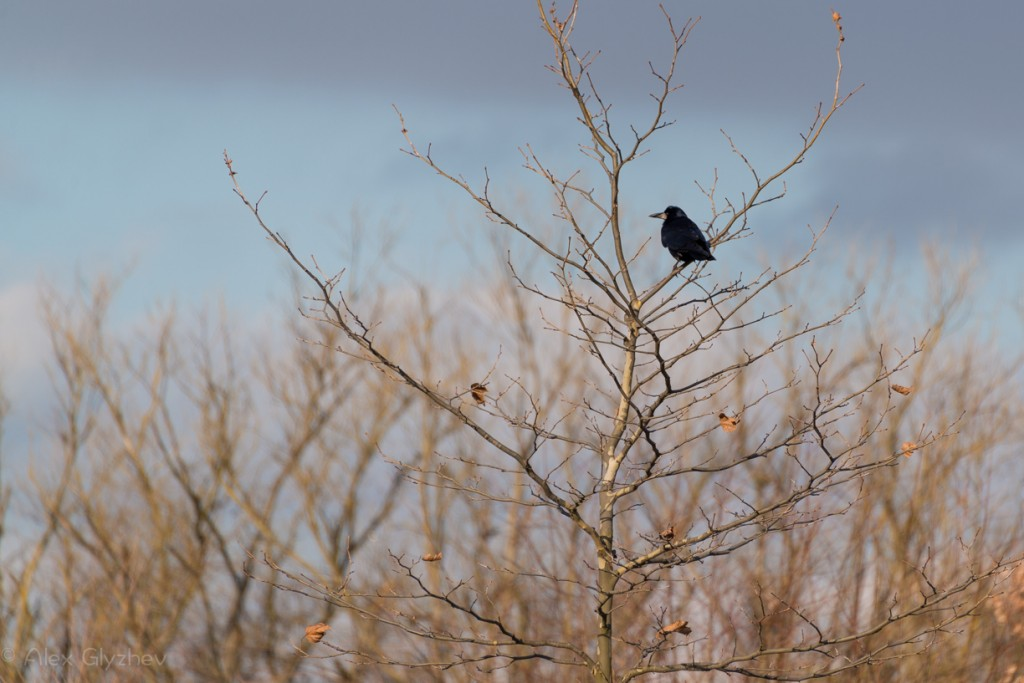Lonely Raven