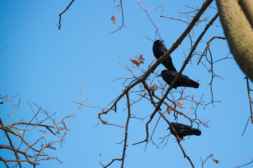 Crows in December